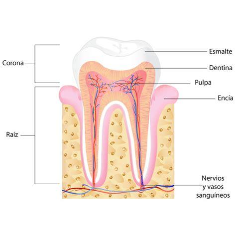 la dinasta del diente 191 qu 233 es un diente muerto
