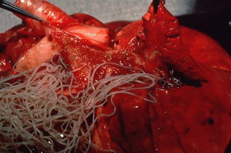 heartworms in puppies post mortem with heartworms veterinary surgery