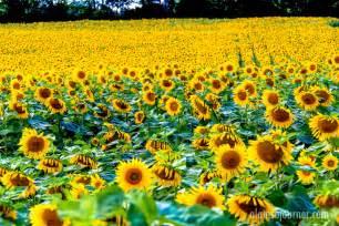 sunflower farm hamilton sunflower farm