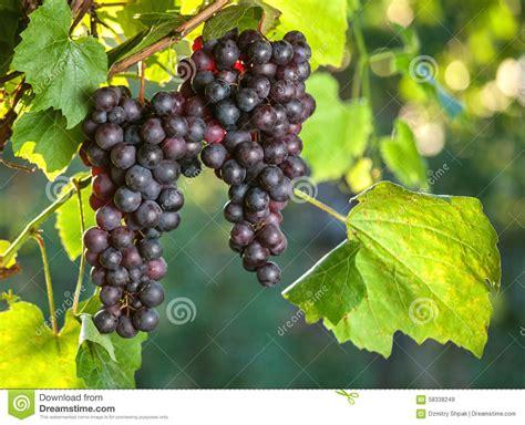 Imagenes De Uvas Frescas   uvas frescas nos ramos da videira agricultura foto de
