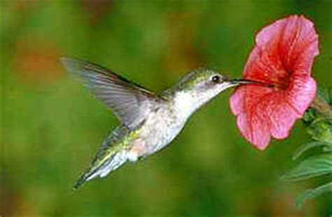 the rufous hummingbird rufous hummingbirds in british