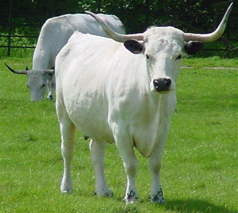 white cow white park cattle wikiwand