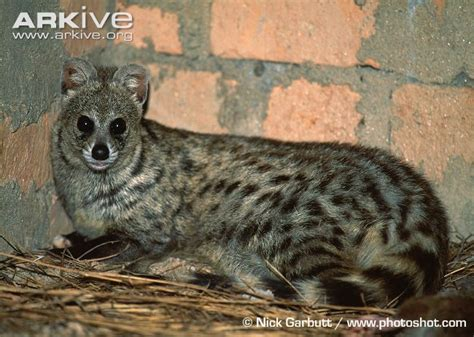 Inidia Cat 44 small indian civet photos and facts viverricula