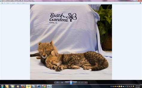 baby cheetah cub to become part of busch gardens cheetah baby cheetahs born at busch gardens wusf news