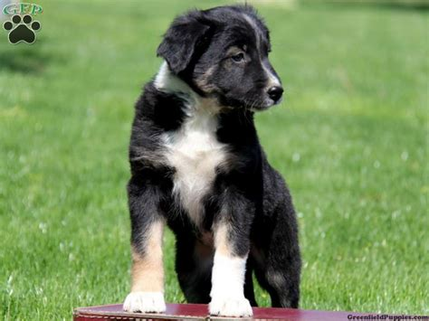 collie shepherd mix puppies for sale border collie german shepherd mix puppies for sale