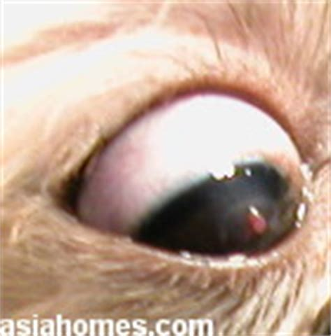 shih tzu eye ulcer canine veterinary surgery anaesthesiaveterinary surgery anaesthesia singapore toa