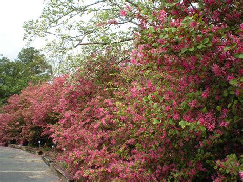pianta sempreverde da giardino loropetalum piante da giardino arbusto sempreverde