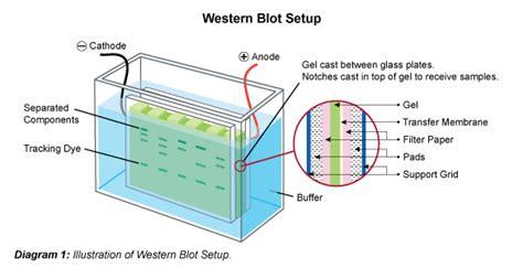western blot cassette general western blot protocol leinco