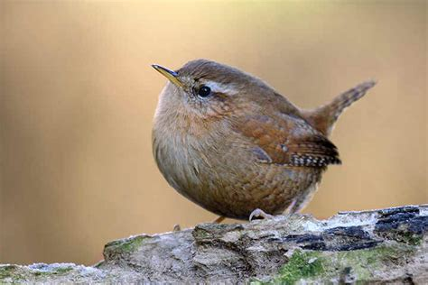 wrens animals and english
