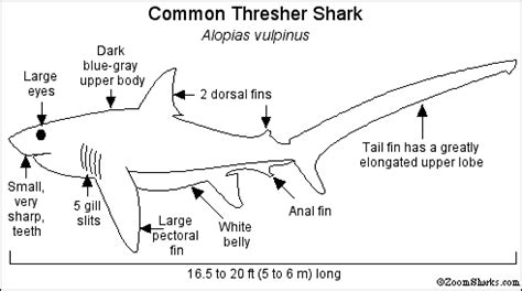 shark anatomy coloring page thresher shark enchanted learning software