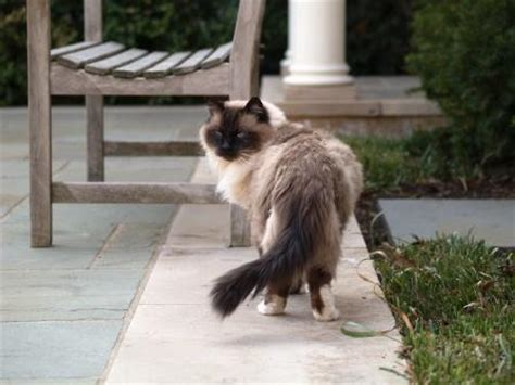ragdoll cat lifespan average lifespan of a ragdoll cat