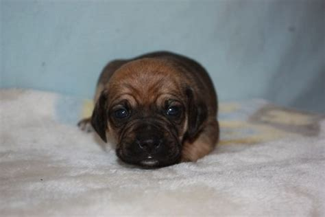 pug puppies for sale edmonton puggle puppies for sale adoption from lloydminster alberta edmonton