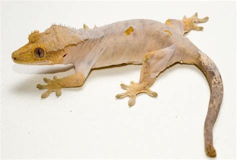 Crested Gecko Shedding by Crested Gecko Rhacodactylus Ciliatus Facts And Pictures