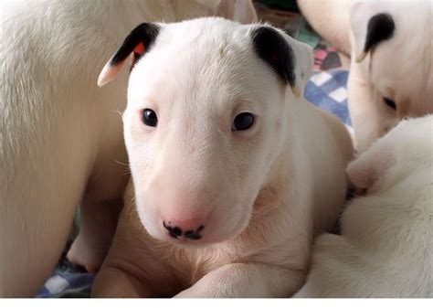 what are puppies bull terrier dogs picture of puppies png