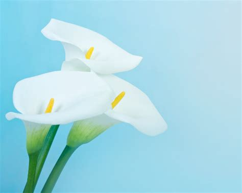 lilies or lillies calla lily flower meaning flower meaning