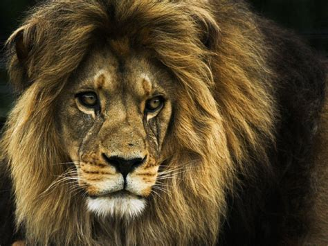 lion biography in english lion face wallpapers wallpaper cave