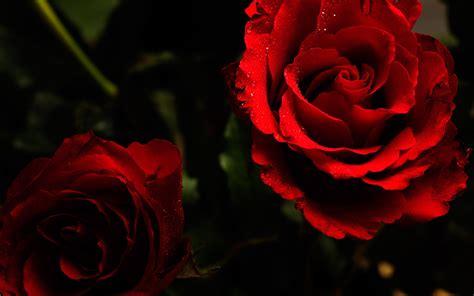 wallpaper background rose red roses wallpaper 129620