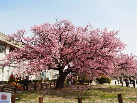 best flowering trees japanese flowering cherry tree kagawa ymg on flickr cc by nc nd 2 0