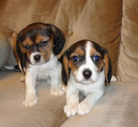 pug spaniel mix for sale cavalier king charles spaniel mix breeds picture