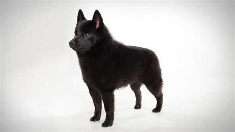 schipperke dog breed history   interesting facts