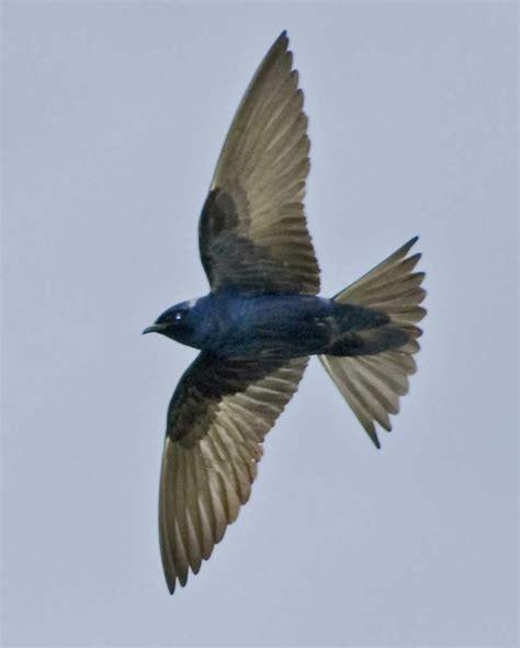 purple martin audubon field guide