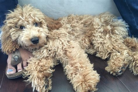 goldendoodle puppy problems a mini goldendoodle learns to stay calm when meeting other