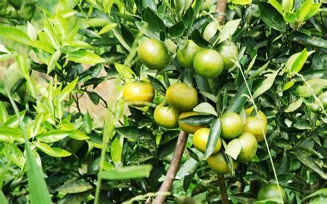 Bibit Jambu Air Jember 6 tips panen jeruk keprok kualitas a bebeja