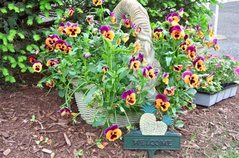 Pansy Garden Ideas Landscaping Ideas With Pansies Pdf Pansy Garden Ideas