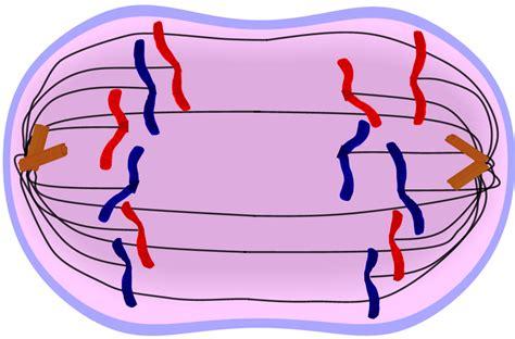diagram of anaphase anaphase