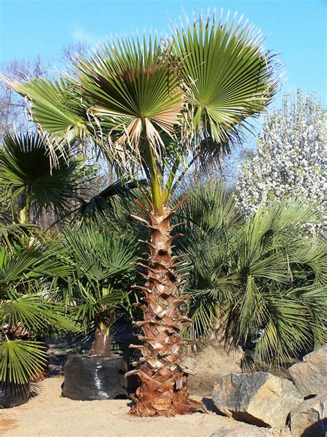 planting fan palm trees full size picture of mexican blue palm blue hesper palm