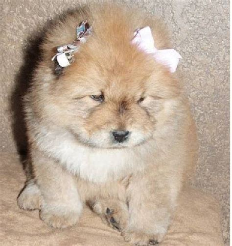 chow puppies for sale free chow chow puppies chow chow panda for sale m5x eu baby chow chow dogs