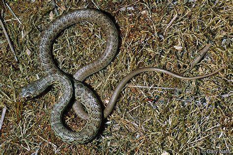 Grey Diamond Pattern Snake   are black racer snakes dangerous yahoo answers personal blog