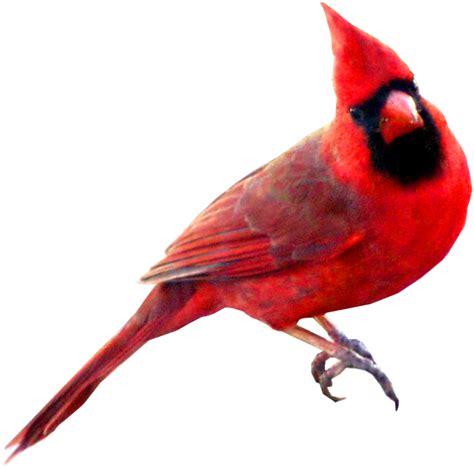 cardinal images cardinal bird clipart clipground