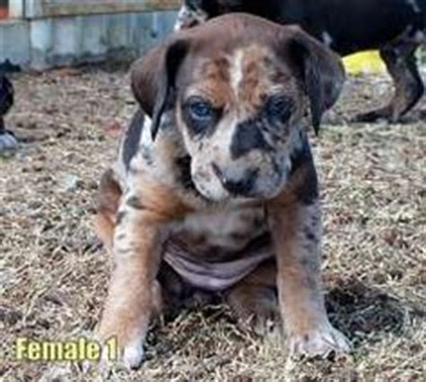 catahoula leopard puppies for sale catahoula leopard on leopard breeds and puppies