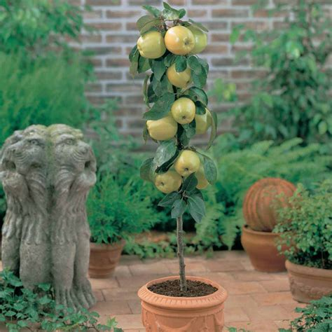 winter care of container fruit trees allotment gardens