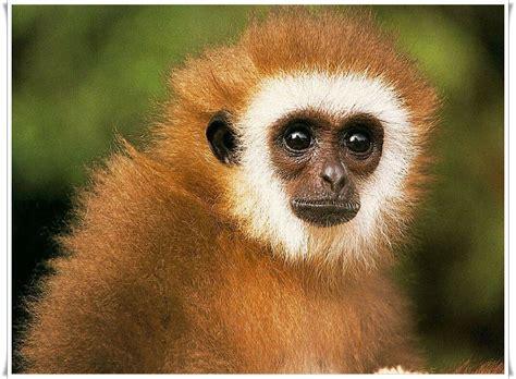 monkey background qq wallpapers monkey desktop wallpaper