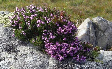 piante per giardino roccioso perenni la bellezza dei giardini rocciosi il verde