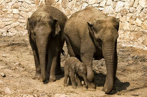 imagenes animales con sus crias la nube de carmen elefantes de zool 243 gico protegen a sus