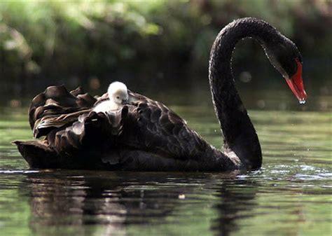 black swan and babies bildungblog 11 30 08 12 7 08