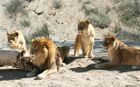 lion film pictures hollywood animals trained african lions lionesses for