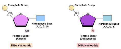 diagram of nucleotide rna nucleotide diagram www pixshark images