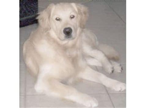 sarasota golden retriever puppies golden retriever puppies in florida