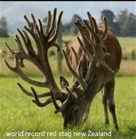 World Record Deer Rack by 1000 Images About Majestic Elk Deer Antler Collection On