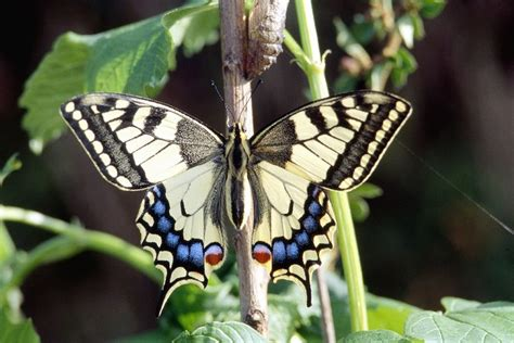 le schmetterling animaux insectes papillon le machaon