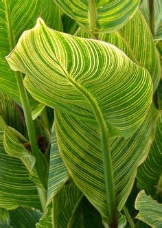tropicanna mixed on canna lowes