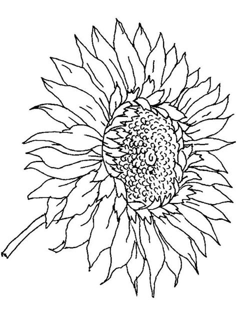 Sunflowers Coloring Pages Advanced Coloring Pages For Sunflowers Coloring Pages