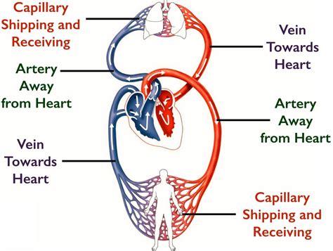 diagram of the circulatory system 10 circulatory system mr kea grade ten academic science