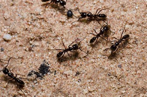 fourmis dans la maison envahi par les fourmis dans mon jardin les techniques