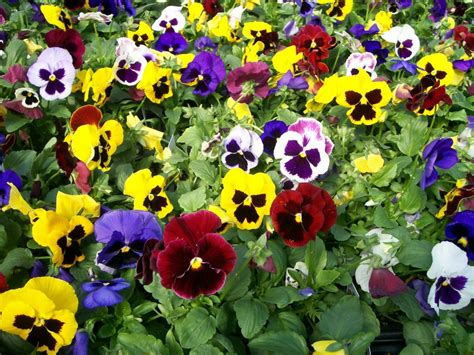 Easy Pretty Flower Combination Ideas For Landscaping Pansy Garden Ideas