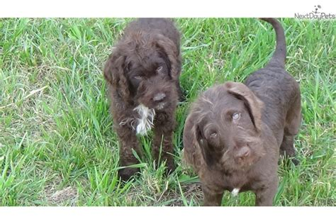 labradoodle puppies for sale in sc chocolate labradoodle puppies brown labradoodle puppy for sale in greenville